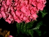 fb-pink-hydrangeas