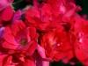fb-red-roses