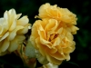 fb-yellow-rose